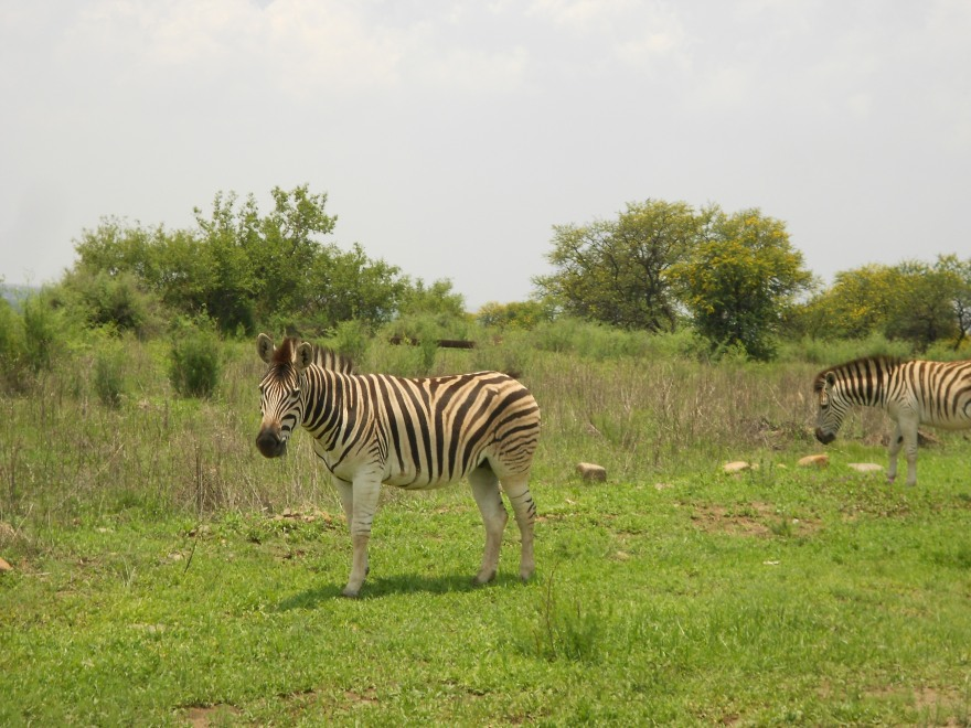 Here's a random picture of a zebra I took a few years ago at the Vaal River. Because this post needs something pretty.